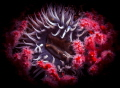 Bed of Roses   Sea anemone surrounded by multicolored seafan