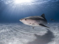 While at Tiger Beach, Bahamas, I happened to capture this lovely female tiger shark in the backdrop of a beautiful sun ball...