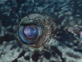Eye to eye with a very large Potato Cod