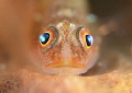 Common Goby close up