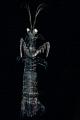 Mantis shrimp looks like a ghost.