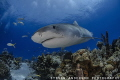 Tiger Sharks frequent the reefs off the Bahamas and stay curious to our presence. Tiger Beach - Bahamas