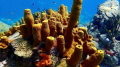 """""""Sponge Colony"""" a healthy group of Yellow Tube Sponges at Anse Cochon in St. Lucia. Taken with TG-4"""