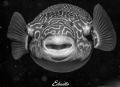Zoetwaterkogelvis, Tetraodon mbu in space