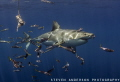 Great White Shark makes an appearance with baitfish at Guadalupe Island.