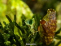 Green seaslug. Dutch groene zeewierslak, Elysia viridis.