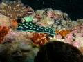 Phanerobranch Dorids