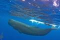 Snorkeler and Sperm Whale. taken under permit.