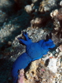 Nudibranch  nembrotha    Help me out  looks like nembrotha but for the blue colour
