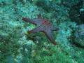 Honeycomb Sea Star   Pentaceraster alveolatus