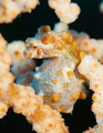 The mother of Pygmy seahorse gives eggs to the father's pouch of a marsupial and he grows eggs.This pygmy seemed to have a close birth.