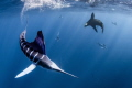 Marlin vs. Sea Lion