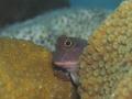 Redlip blenny peering around coral mound.