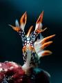 FLAME - Bornella anguilla