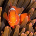 Tomato clownfish with parasite