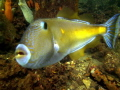 Leather-jacket Fish Edithburgh Jetty South Australia