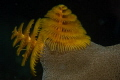 Christmas Tree Worm shot in January off the West coast of Koh Chang Island