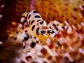 Hideaway  Coleman Shrimp - Periclimenes colemani  Bali, Indonisia