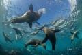 Sea Lion playing around, Magdalena México