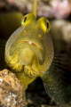 The Yellow Watchman Goby