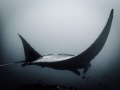 Mysterious Manta - in the swells of Lembongan the mantas glide by as if oblivious to you there. Olympus tg4 with olympus housing