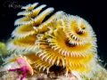 When I took this image of the Christmas Tree Worm, I saw that there was a shrimp on it, a very small translucent shrimp