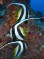 These 3 Longfin Bannerfish almost posed perfectly 4 me. This was around 30m deep. Cod Hole Aus.