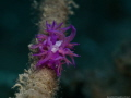 Flabellina affines with parasite