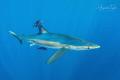 Blue Shark, Cabo San Lucas  México