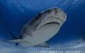 Tiger Tiger Tiger - Tiger Shark at Tiger Beach - Bahamas