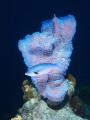 Azure vase sponge - Callyspongia plicifera & Creolefish - Paranthias furcifer.  Picture taken on a Bonaire reef.