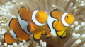 2 clownfish doing their thing.
