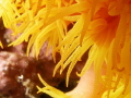 Orange Sun Coral Tubastrea faulkneri