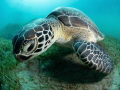 Green turtle in the bay of Abu Dabbab