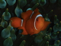 Baby Spinecheek Anemonefish