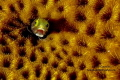 Blennie sp.  Acanthemblemaria spinosa Roatan Marine Park