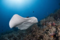 Marble ray at Tubbataha reefs with Seadoors liveaboard.