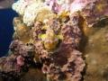 Warty frogfish  Clown frogfish    Antennarius maculatus