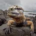 Dragon   Marine Iguana  Isla Santa Cruz  Gal pagos