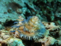 Feather Duster Worm  X mas tree worm    Spirobranchus cf giganteus