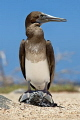 Blue footed Booby  Sula nebouxii    Juvenile without typically colored feet