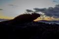 Marine Iguana in the Sunset (Isla Isabela, Galápagos)