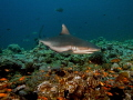 grey reef shark cruising,