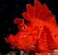 Red rhinopia eschmeyeri.