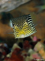 Straight on view of Solor Boxfish in Ambon.