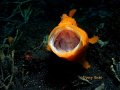 Screamin frogfish