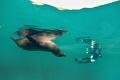 Sleeping Sea Lion and his Fan (Concha Perla, Isla Isabela, Galápagos)