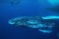 Snorkellors with humpback whales