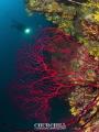 Red coral & döver
