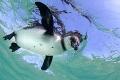 Galápagos Penguin (Spheniscus mendiculus) - Isla Isabela